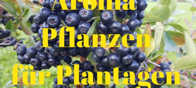 Aronia Pflanzen für Plantagen