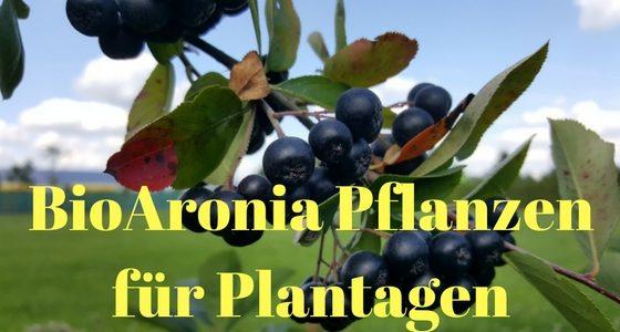 Bio Aronia Pflanzen für Herbst 2016 und Frühjahr 2017